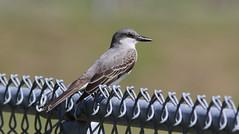 Gray Kingbird, Anclote Gulf Park