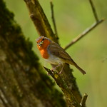 19SHR171 Robin by Priorslee Flash