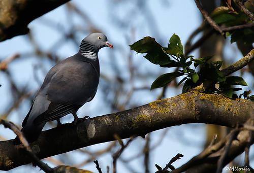 Pigeon .