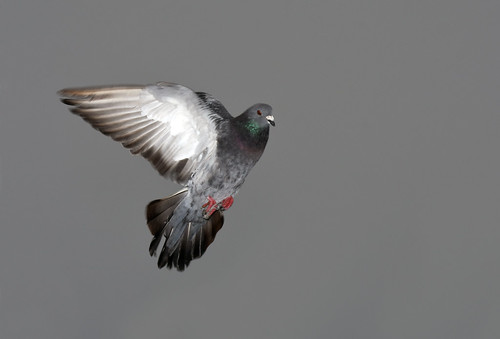 Pigeon in a Foggy Sky