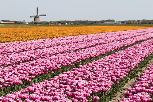 Petten 2019 : Windmill and Tulips..