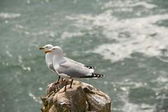 sea gulls, Pembrokeshire Coastal, Pembrokeshire, Wales