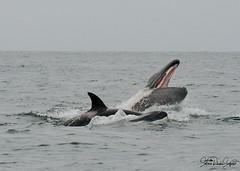 Gray Whale Calf Pedation