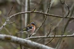 Pinson des arbres - Photo of Herran