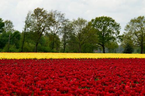 Tulpen in Tubbergen