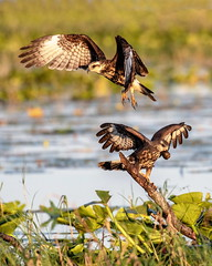 Central Florida Snail Kites