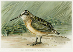 Woodcock vintage drawing