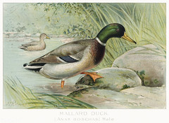 Mallard Duck vintage drawing