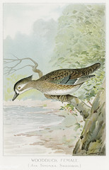 Woodduck Female vintage drawing