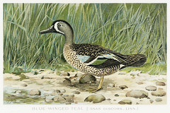 Blue–Winged Teal vintage drawing