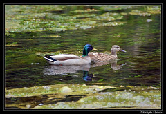 Couple de Colvert - Photo of Belan-sur-Ource