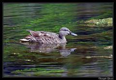 Colvert femelle - Photo of Belan-sur-Ource