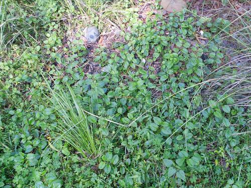 Hackelia latifolia plant NC1