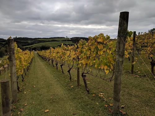 Chardonnay Vines in Autumn