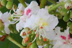 Fleur de marronnier_IMG_1714