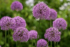 Purple Sensation Alliums at Dumbarton Oaks