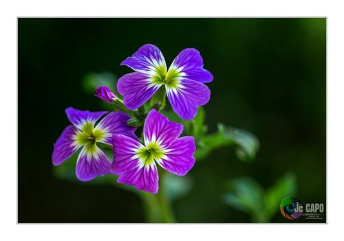 """Malcolmia maritima : """" Attendre patiemment qu'une graine se mette peu à peu à germer, jusqu'au jour ou s'épanouira la fleur de la solution », Yukio Mishima """""""