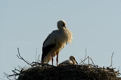 Cigogne Blanche - White Stork (Ciconia ciconia)