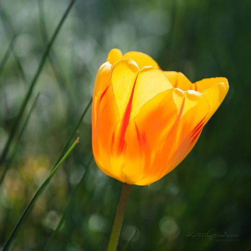 Tip toe through the tulips (1)