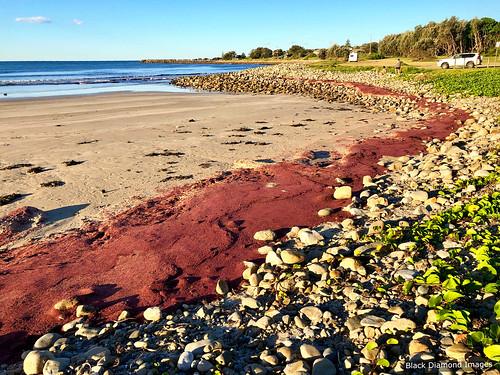 Rhodophyta Red Weed Algal Bloom Residue - Crowdy Head Surf Club, Crowdy Head, Mid North Coast, NSW