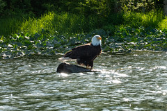 Bald eagle fishing on Lake Sammamish