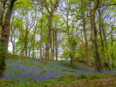 bluebells and trees