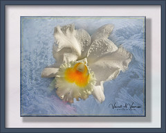 Orchid on Ice