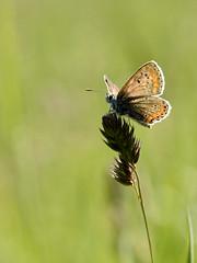 Argus bleu femelle. - Photo of Bignoux