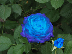 Another bluerose (for Franco P.)