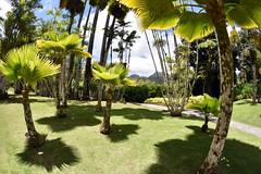 Palmiers de Balata