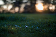 Small white flowers in the grass and sun glowing in the blurry background