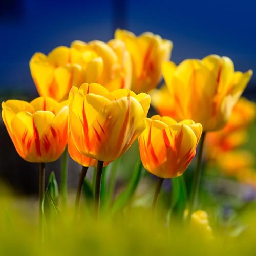 Shining tulips ☀️💐