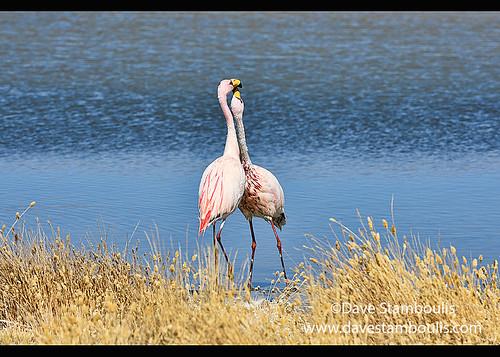Cuddling James's flamingos (Phoenicoparrus jamesi), Eduardo Avaroa National Reserve, Salar de Uyuni, Bolivia