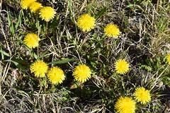 Dandelion on Seedskadee National Wildlife Refuge