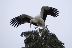 White Stork Chateau de Cormatin 22-4-19