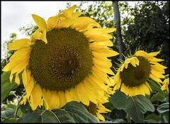 Sun Flowers on a non sun day-1=