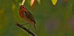 Photo 1721 . Rouge-gorge (Erithacus rebucula .) Robin .