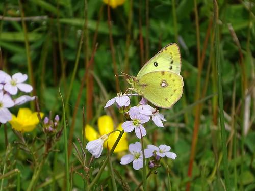Gele luzernevlinder | Pale Clouded Yellow male | (Colyas hyale) | Korenburgerveen nl