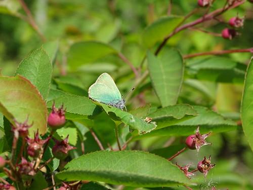 Groentje   Green Hairstreak (Callophrys rubi)   Bargerveen nl