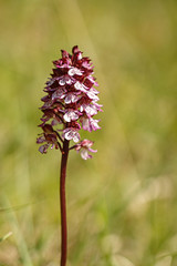 Orchis pourpre - Photo of Savigny