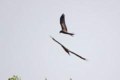 Black Kite Chateau Mont Symond France 22-4-19