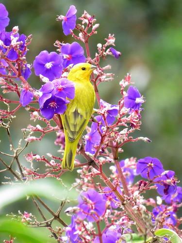 Este familiar Canario Coronado exhibe orgulloso su vistoso plumaje amarillo mientras explora el área en busca de semillas de su preferencia.