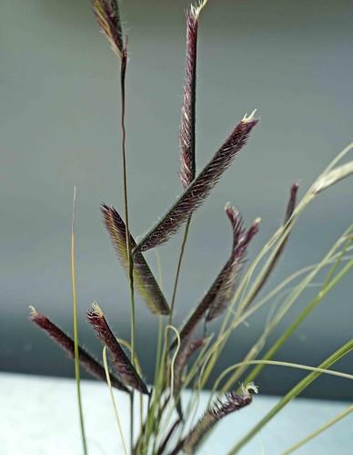 格蘭馬草 Bouteloua gracilis   [溫哥華植物園  VanDusen Botanical Garden, Vancouver]