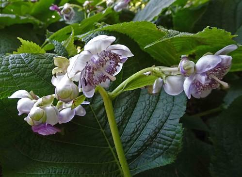 叉葉藍 Deinanthe caerulea     [溫哥華植物園  VanDusen Botanical Garden, Vancouver]