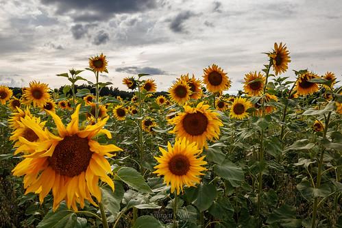 sunflowers-4100