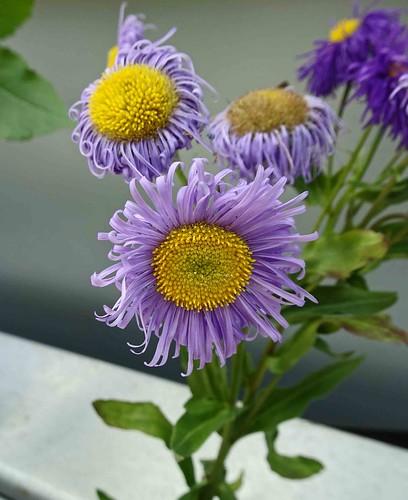 紫菀屬 Symphyotrichum novae-angliae     [溫哥華植物園  VanDusen Botanical Garden, Vancouver]