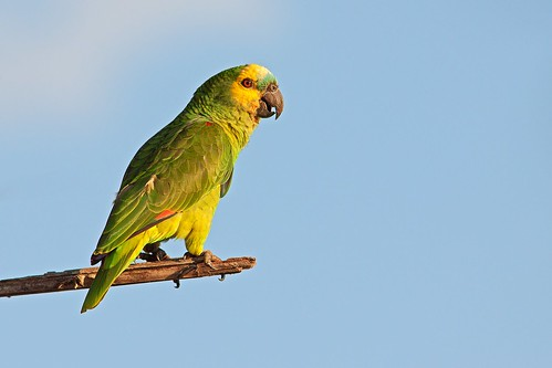 Blue-fronted Amazon Parrot or Turquoise-fronted Amazon Parrot