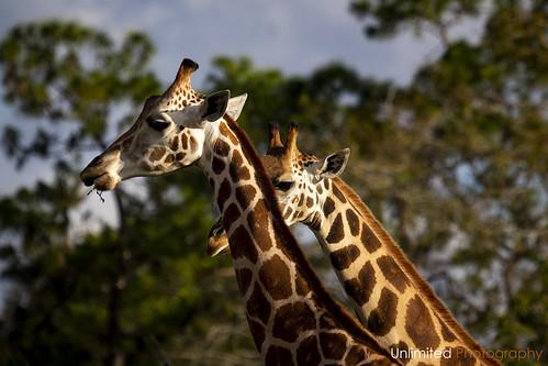 Giraffes [Explored]