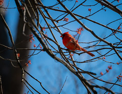 Cardinal Resting in My tree