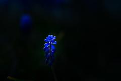 Muscari in the light